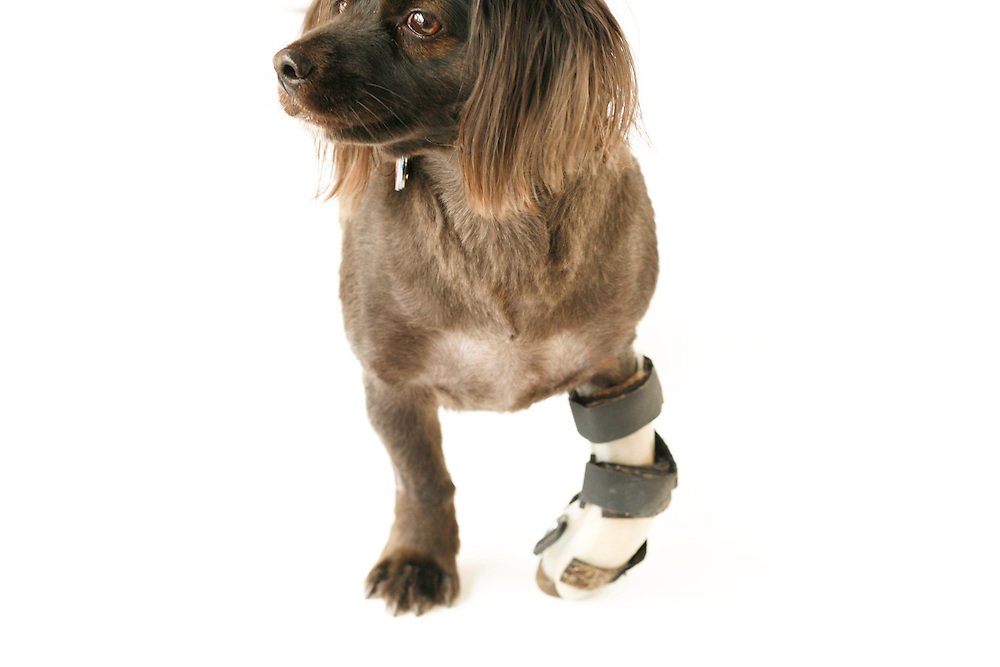 Spider Mintzer, a cocker spaniel mix, utilizes a splint to give him stability from a nuerological injury to his front limb at Animal Rehabilitation & Wellness Hospital in Raleigh, NC.