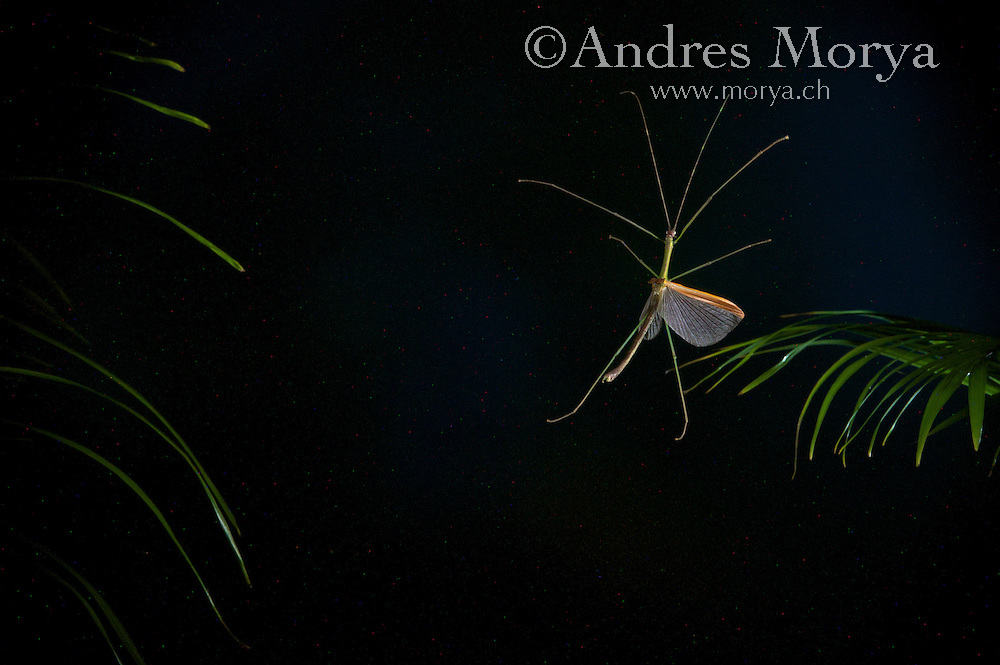 Asian Walkingstick in Flight (Phasmidae) Image by Andres Morya