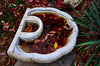 Wet red malple leaves in a birdbath. Backyard autumn nature. Image taken with a Leica T camera and 23 mm f/2 lens (ISO 100, 23 mm, f/2, 1/100 sec)