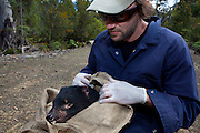 Biologist Drew Lee from the Save The Tassie Devil program checks the mouth of a wild Tasmanian Devil for signs of Devil Facial Tumour Disease - it turns out to be free of the disease, it is released back into the wild.  DFTD is contagious cancer that scientists are only beginning to understand, but has spread rapidly through the population, leaving the devil listed as endangered. In December 2009, it was announced that the disease may be related a peripheral nerve cell, called the Schwann cell, which has led some hopes for preserving the devil, at least in terms of quarantine insurance populations.  The scientists are trapping and monitor the animals on the Forestier Peninsula as part of a programme to control the further spread of the disease and to create insurance populations.