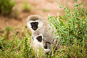 female Grivet monkey (Chlorocebus aethiops) with young. This monkey lives in groups of ten to thirty individuals feeding on vegetation, fruits and roots. Occasionally they may feed on small birds and reptiles. Grivets often live near rivers and lakes and are good swimmers. Photographed in Kenya
