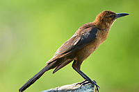 Boat-tailed Grackle (Quiscalus major), Arthur R Marshall National Wildlife Reserve, Loxahatchee, Florida   Photo: Peter Llewellyn