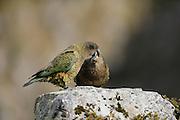 Kea (Nestor notabilis) Arthur's Pass, New Zealand | Kea oder Bergpapagei (Nestor notabilis) - Bei den Keas werden Jungvögel bis zu einem Jahr von Altvögeln gefüttert. Arthur's Pass, Neuseeländische Alpen, Neuseeland.