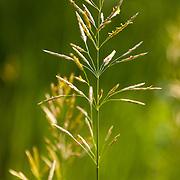 Tall grasses in the summer sun near Aspen, Colorado