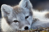 Arctic fox<br /> Alopex lagopus<br /> NORWAY / SVALBARD<br /> The Arctic fox comes in two colour schemes<br /> &ndash; light grey and bluish-black. It is an opportunist<br /> that eats almost anything, but when it has a<br /> choice, it specialises in small rodents and birds.<br /> It is a common animal on Greenland, Iceland,<br /> Svalbard and in the Russian Arctic.<br /> In Finland and Scandinavia, it was driven close<br /> to extinction by being hunted and trapped for its<br /> valuable fur. Despite over 75 years of protection,<br /> the mainland Scandinavian population still<br /> remains on the brink of extinction, with only<br /> some 200 adult individuals left in the wild. Supplementary<br /> feeding programmes during winter, and<br /> reintroductions from captive breeding facilities<br /> finally seem to be having some real success. <br /> In 2011 no less than 700 pups were born in the wild.<br /> Nature conservation works!<br /> This is one of the species that Rewilding Europe wants considers <br /> to help reintroduce and restock in the huge Greater Laponia region in Sweden and Norway.<br /> <br /> Photo: Mireille de la Lez / Wild Wonders of Europe