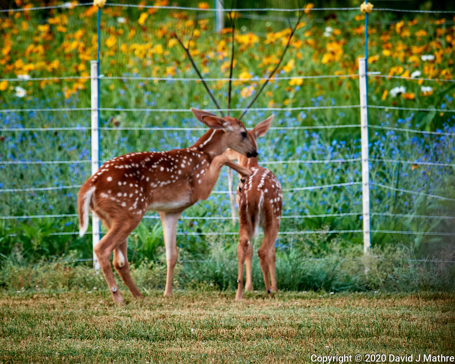 Conflict at the Deer Daycare Playground. Image taken with a Nikon D5 camera and 600 mm f/4 VR lens (ISO 1600, 600 mm, f/5.6, 1/160 sec).