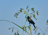 Red winged Blackbird perched in Pickerel weed Wakodahatchee Wetlands Delray Beach Florida USA
