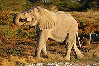 Trinkender Elefant
