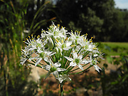 Garlic, Allium trifoliatum Photographed in Israel