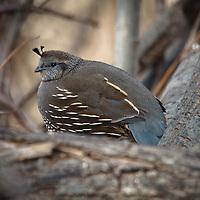 Birds - Quail