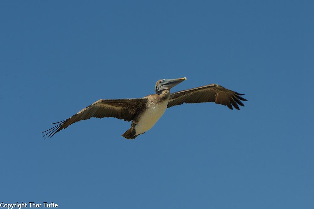 Pelican in Boca de Yuma on the east coast of The Dominican Republic.