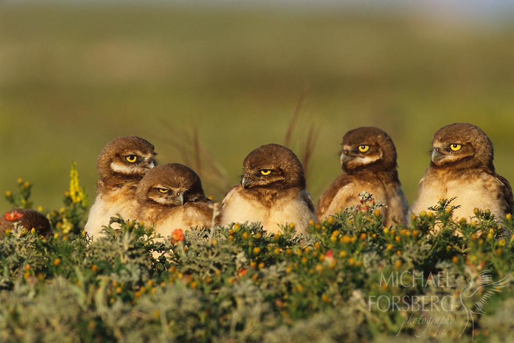 Burrowing owl chicks in a row outside their nest burrow on prairie dog town. Conata Basin, Buffalo Gap National Grassland, South Dakota.