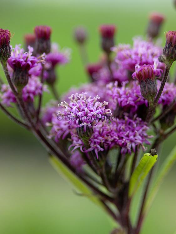Vernonia crinita - ironweed