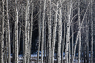Aspen Trees in Black and white