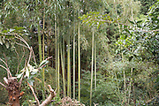 a group of bamboo trees in a lush green forest