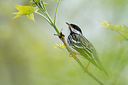 Blackpoll Warbler, Setophaga striata, male, Ottawa County, Ohio