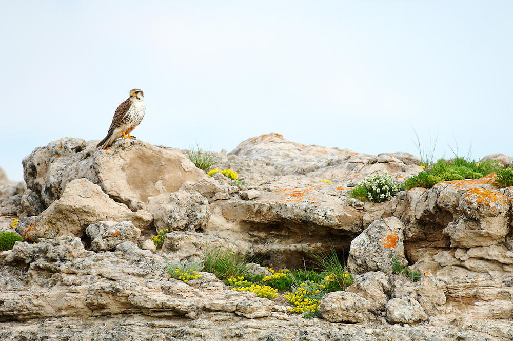 Sioux County, Nebraska.  Tucked among the rugged Niobrara River breaks in Nebraska's high plains, a female prairie falcon perches on a wildflower and lichen strewn rocktop not far from her cliff-side aerie. As their name implies, prairie falcons are birds of the open grasslands, and one of the iconic raptor species in the Great Plains. They live and nest among hight buttes and cliff faces, hunting rodents and small birds. Prairie falcons can dive (or stoop) at speeds approaching 200 miles and hour.
