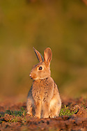 European Rabbit (Oryctolagus cuniculus) adult, sitting on edge of grazing marsh, Norfolk, Uk.