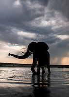A male Elephant, Loxodonta africana, coming close to check me out. From Chobe NP, Botswana.