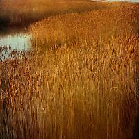 Reed beds in autumn at Eiken, Suffolk, England