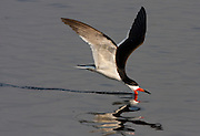 The black skimmer fishes by keeping its lower bill in the water as it flies.