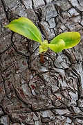 A new branch grows out from rough bark on a Pacific madrone (Arbutus menziesii) tree on San Juan Island in Washington state. Pacific madrone trees are also known as arbutus or madrona trees.