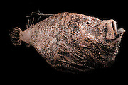 Deep sea angler fish (Ceratias holboelli) Picture was taken in cooperation with the Zoological Museum University of Hamburg | Tiefseeangler (Ceratias holboelli) Das Bild entstand in Zusammenarbeit mit dem Zoologischen Museum Hamburg (ZMH); ZMH 21014; 1940; Vor Süd-Island; 400 m