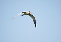Caspian tern (Hydroprogne caspia) in flight above Lake Chapala - Ajijic, Jalisco, Mexico