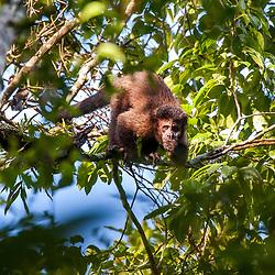 """""""Macaco-prego (Sapajus nigritus) fotografado em Cariacica, Espírito Santo -  Sudeste do Brasil. Bioma Mata Atlântica. Registro feito em 2014.<br /> <br /> <br /> <br /> ENGLISH: Black capuchin photographed in Cariacica, Espírito Santo - Southeast of Brazil. Atlantic Forest Biome. Picture made in 2014."""""""