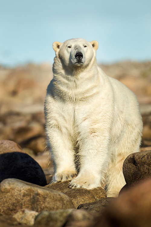 Canada, Manitoba, Large Adult Male Polar Bear (Ursus maritimus) walking along coast at dawn at Hubbart Point along Hudson Bay