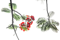 Royal Poinciana Tree Delonix Regia #27