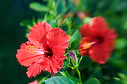 Red Hibiscus flower<br />