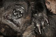 Gorilla, Western Lowland gorilla (Gorilla gorilla gorilla).Sleepy Gorilla woman lying on her back. Gorillas sleep in makeshift nests, which may be located in trees and on the ground. They sleep up to 14 hours per day...Gorilla, Westlicher Flachlandgorilla (Gorilla gorilla gorilla).Schläfrige Gorilla-Frau auf dem Rücken liegend. Gorillas schlafen in selbst gebauten Nestern, die sich in Bäumen und auf dem Boden befinden können. Sie schlafen bis zu 14 Stunden pro Tag. .