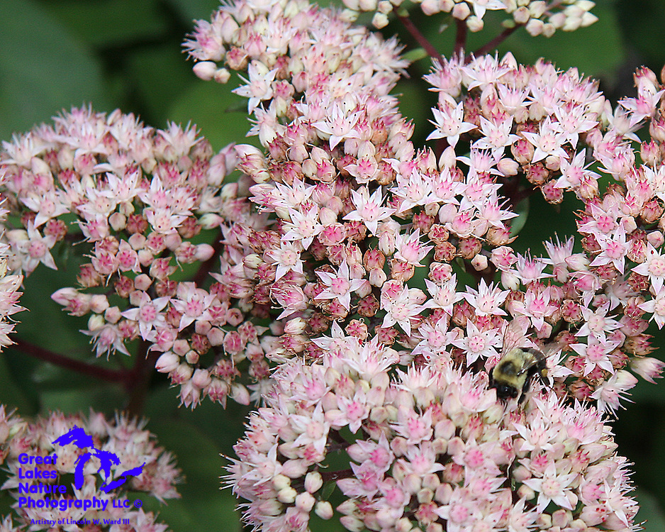 Sedums produce these very tiny and delicate blooms.
