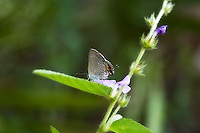 The uncommon mallow  scrub hairstreak seen here in the CREW Marsh Hiking Trails in Collier County, Florida is often found near palmettos and other pine scrub plants.
