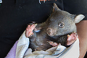 Common Wombat <br /> Vombatus ursinus<br /> Six-month-old orphaned joey (mother was hit by car) <br /> Bonorong Wildlife Sanctuary, Tasmania, Australia<br /> *Captive- rescued and in rehabilitation program