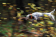 Maisy an english setter hunting for grouse with Tim Linehan in fall. Yaak Valley in the Purcell Mountains, northwest Montana.