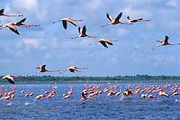 National park of Rio Lagartos, greater flamingo, Mexico
