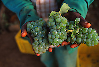 grapes during harvest, south africa