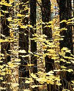 Autumn color in Oak Creek Canyon, Arizona