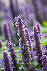 Bee on Agastache foeniculum syn. Agastache anethiodora. Blue giant hyssop, Anise hyssop
