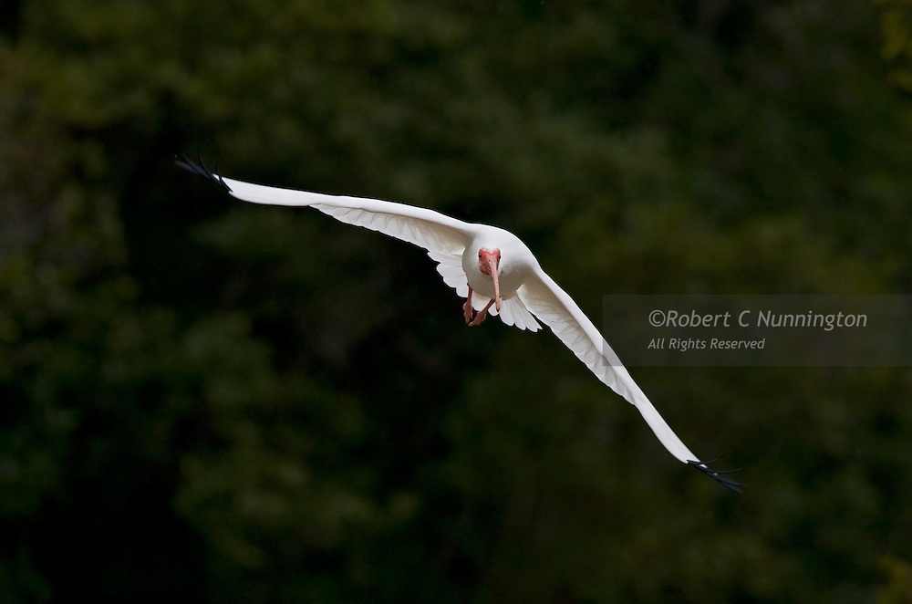 A fast flying white ibis caught in flight in the Everglades National Park