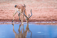 Impala ram drinking from a waterhole, Marataba Private Game Reserve, Limpopo, South Africa