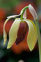 Flowers of Pitcher plant, Saracenia