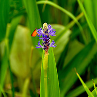 An insect draws nectar from a flower in Washington, DC's Aquatic Gardens,