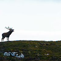 The Red Deer Rut on the islands of North and South Uist in the Outer Hebrides of Scotland. Copyright Christian Cooksey. No use online or print without the express permission of Christian Cooksey.