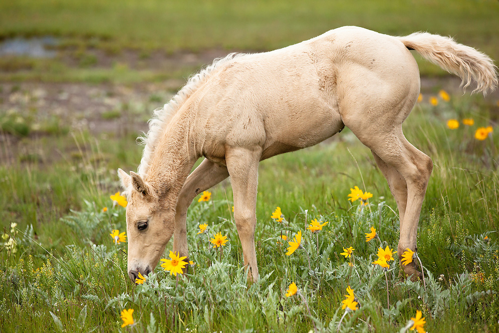 Montana Foal