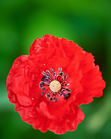 Poppy (Red, Oriental, or Icelandic). Image taken with a Nikon D810A camera and 105 mm f/2.8 macro  VR lens