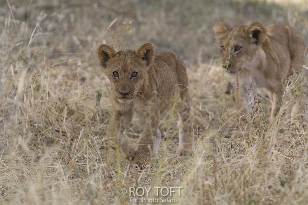 Juvenile African lions, Botswana
