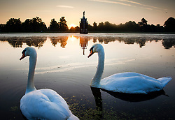 © Licensed to London News Pictures. 24/06/2020. London, UK. Swans swim as the sun rises behind the Diana Fountain in Bushy Park, south west London. High temperatures and sunshine are expected in most of the UK over the next few days. Photo credit: Peter Macdiarmid/LNP